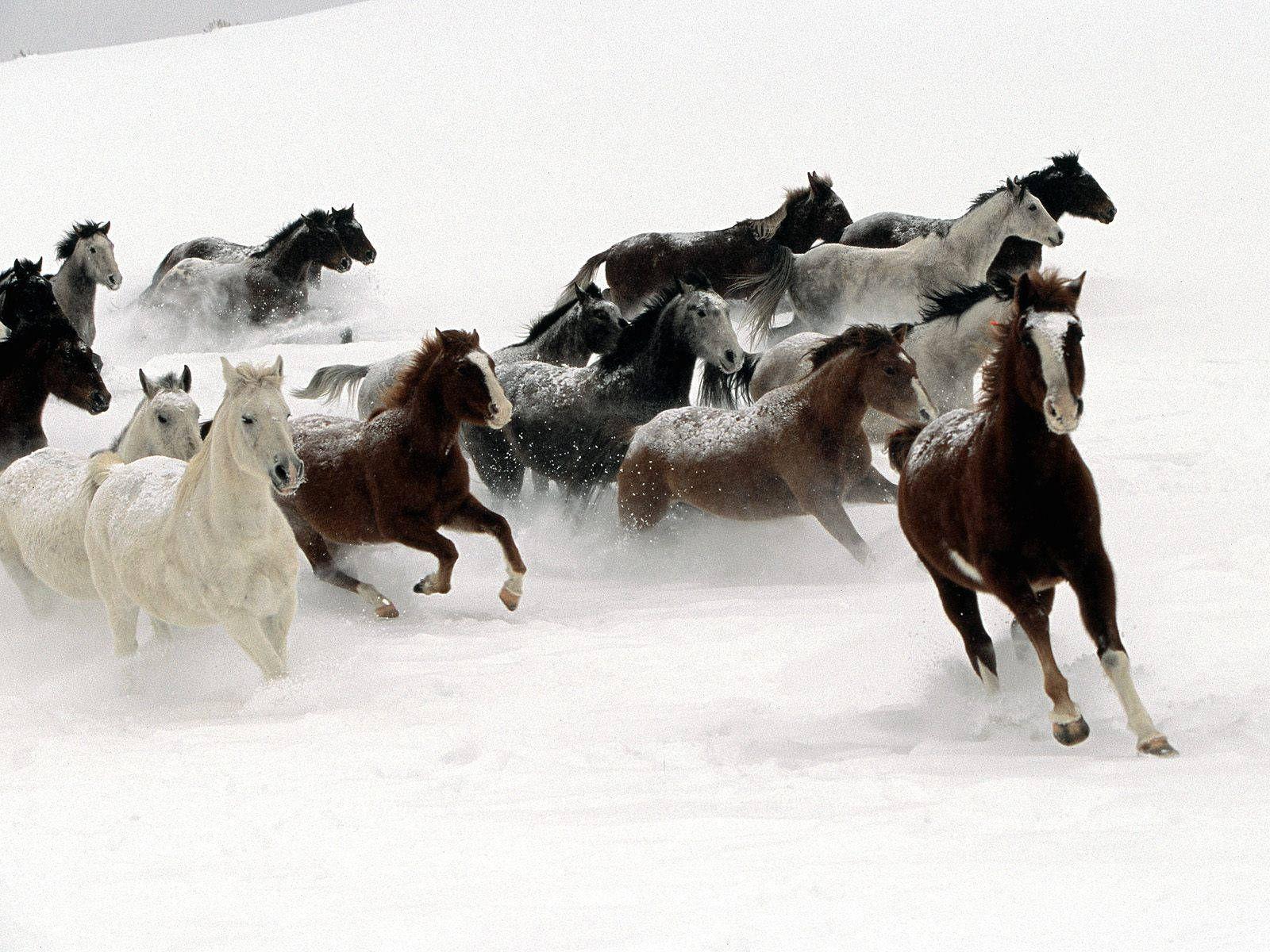 Herd Of Horses Running Snow Winter X 1024 Px