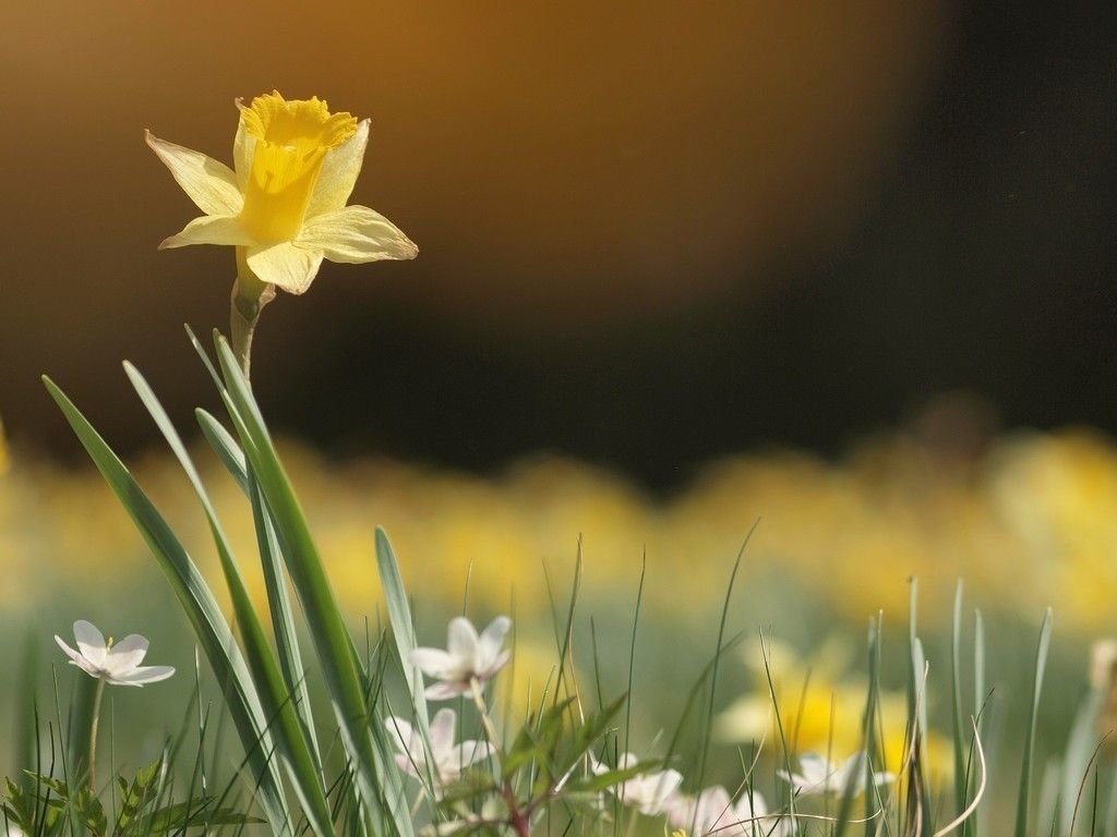 Narcissus Yellow Flower Spring Wallpaper Daffodil Photography Daffodils Hd Flower Wallpaper