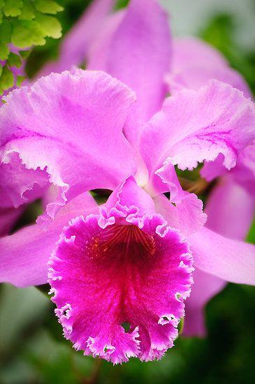 Pink Cattleya Orchid By Oscar Gutierrez Cattleya Orchid Beautiful Orchids Beautiful Flowers