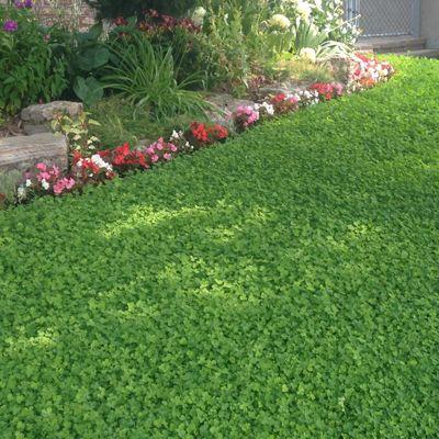 garden ideas no grass lawn clover