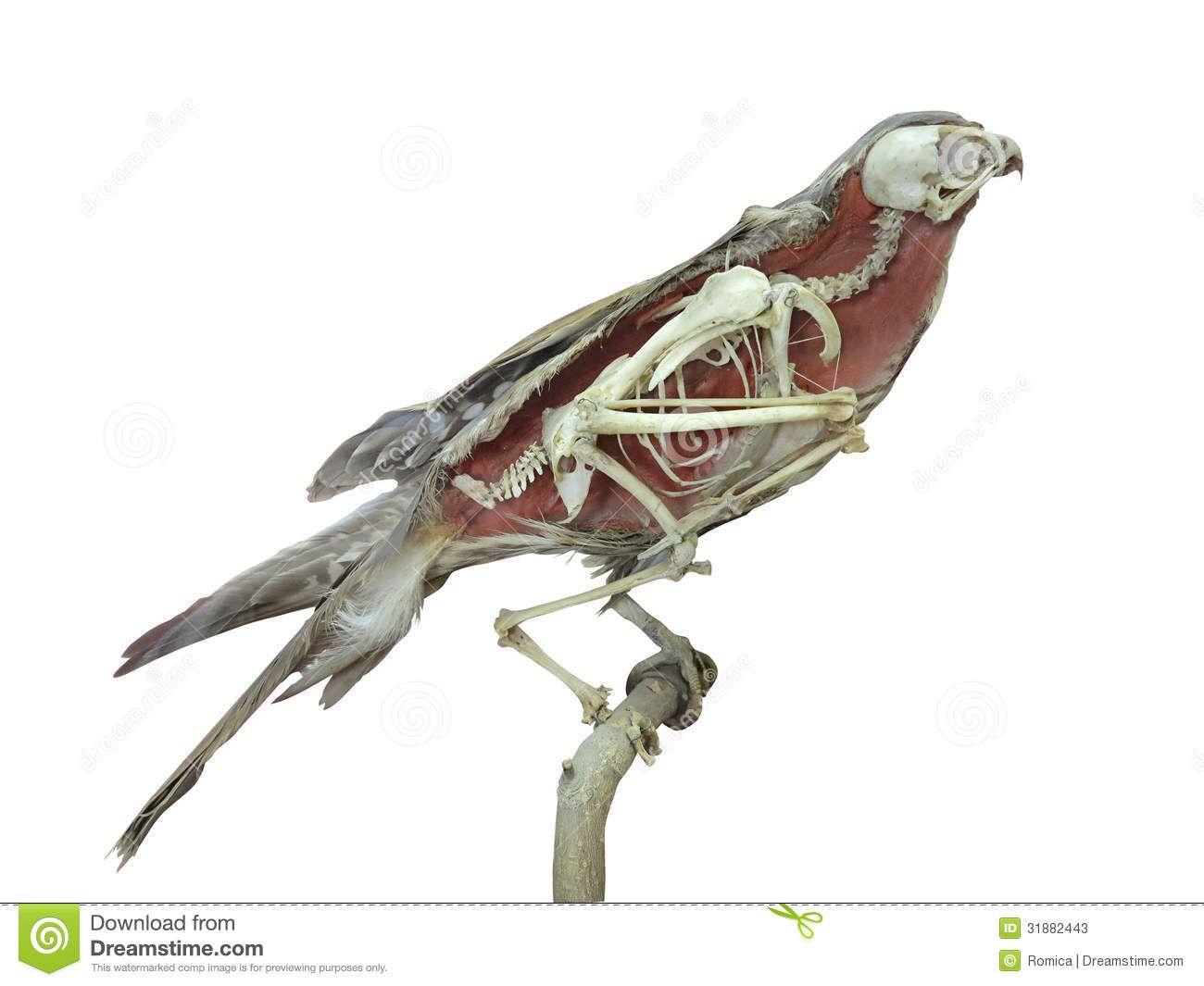 stuffed-falcon-bird-skeleton-inside-isolated-over-white-background ...
