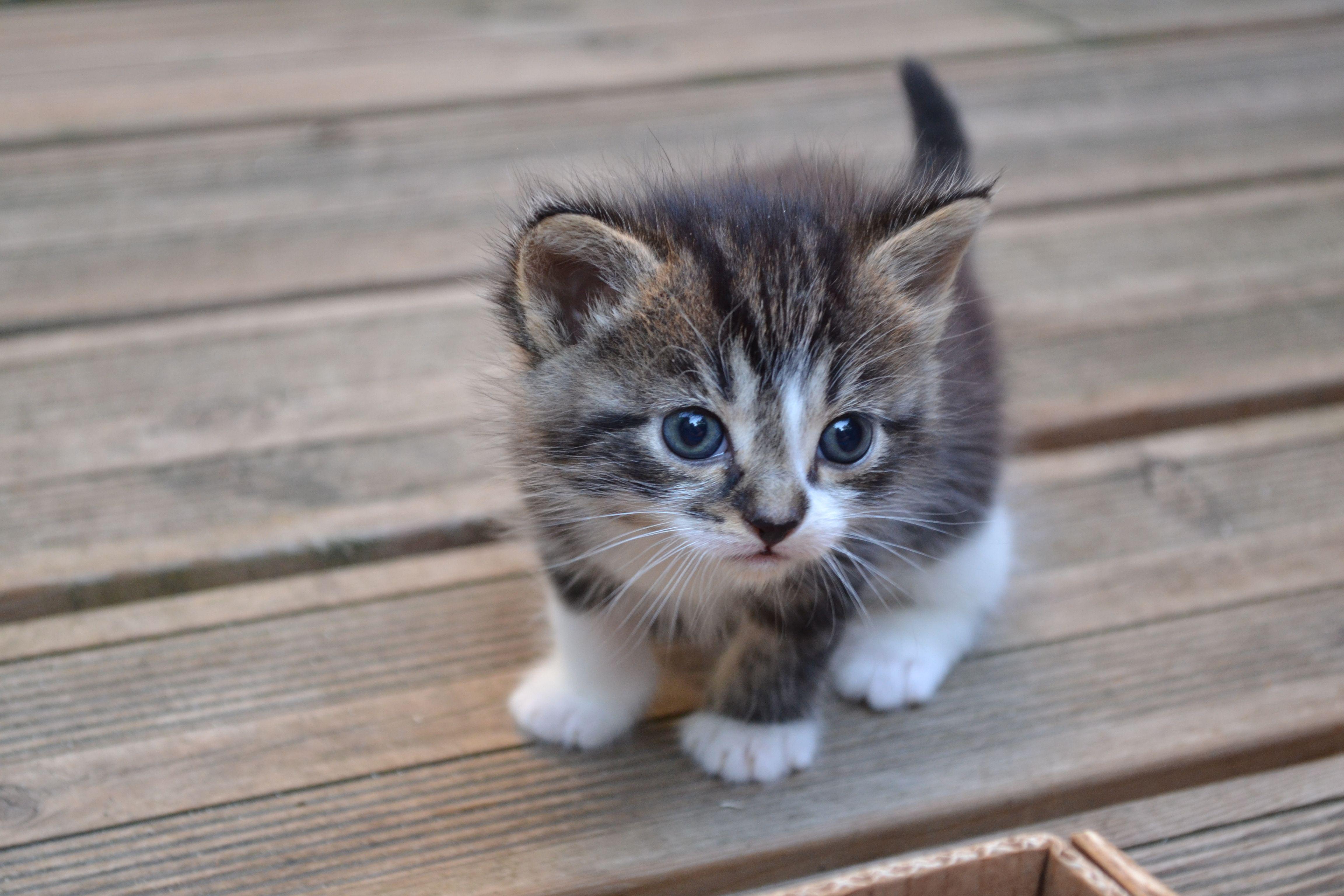 chaton gris et blanc, tout mignon