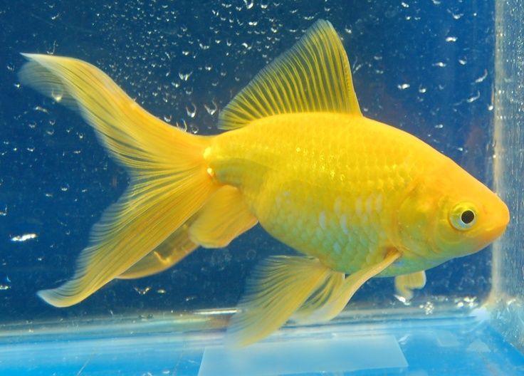 lemon goldfish   Watonai Goldfish Watonai from rain garden