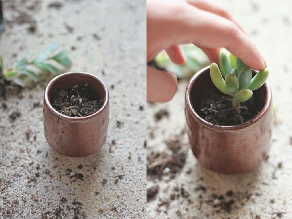 How to repot succulents repotting succulents transplant