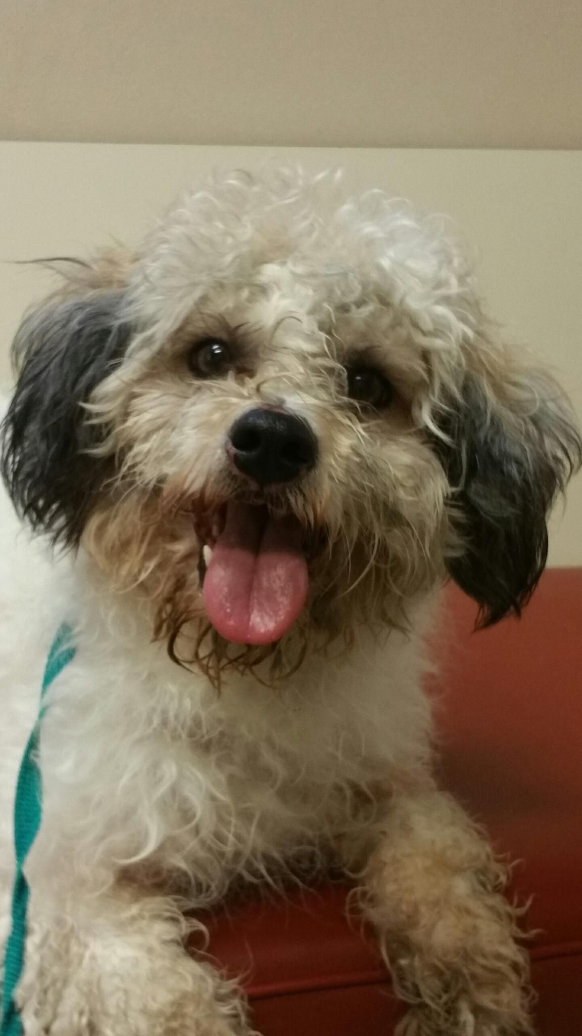 Nick is an adoptable shih tzu poodle dog in plano tx