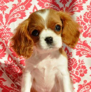 Tiny King Charles Prince Sold Moving To North Carolina King Charles Cavalier Spaniel Puppy Cavalier King Spaniel King Spaniel