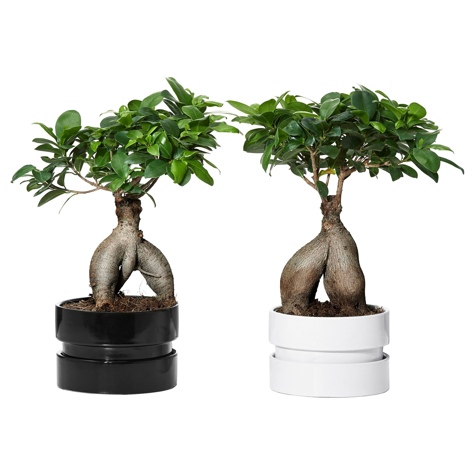 ficus microcarpa ginseng plant with pot bonsai assorted. Black Bedroom Furniture Sets. Home Design Ideas