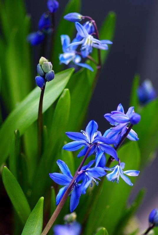scille siberica massif bleu jardin bleu jonquille et. Black Bedroom Furniture Sets. Home Design Ideas