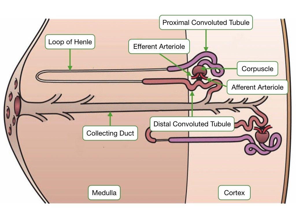 Nephron plasma membrane osmotic pressure basement membrane