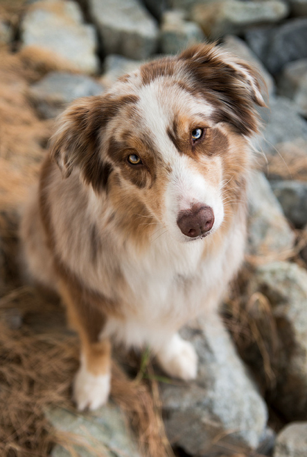 I Know You Love Me I Have Seen This Look Before On Humans Australian Shepherd Dogs Australian Shepherd Dogs