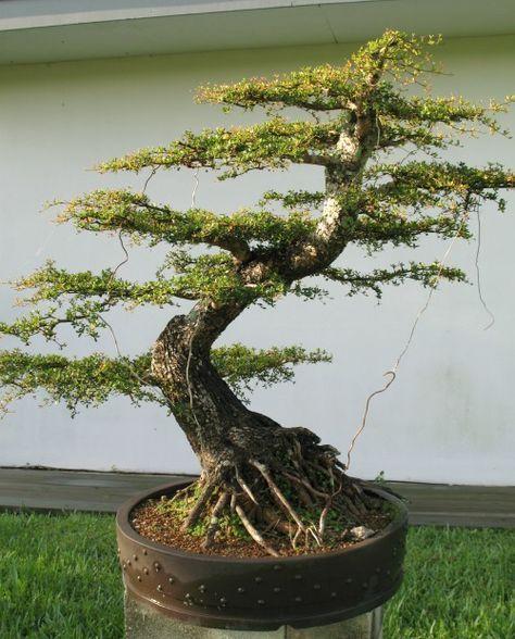 Bucida spinosa bonsai