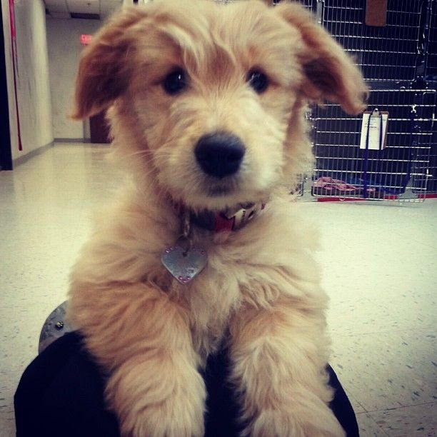 Schnauzer golden retriever mix for sale