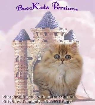 Bookats Cattery Persian Cat Breeders Cat Breeder Persian Cat