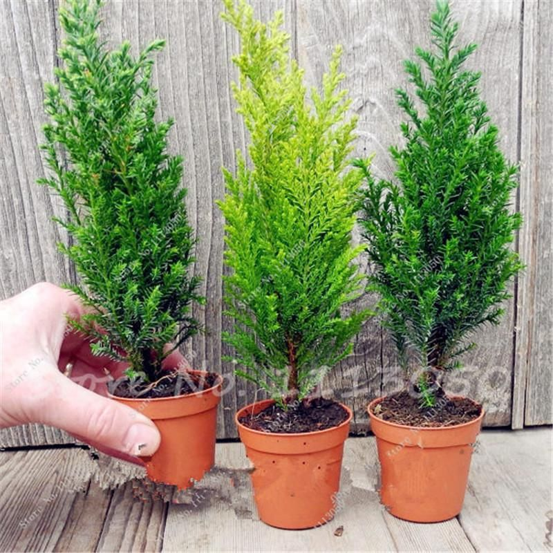 Exotic Evergreen Tree Seeds to Grow Great for Bonsai 50 Seeds Evergreen Italian Cypress Bonsai Tree Seeds for Planting