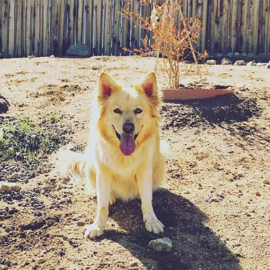 Husky Mix Breed Dogs 45 Most Adorable Husky Mixes With Pics In 2020 Husky Mix Corgi Husky Golden Retriever Husky Mix