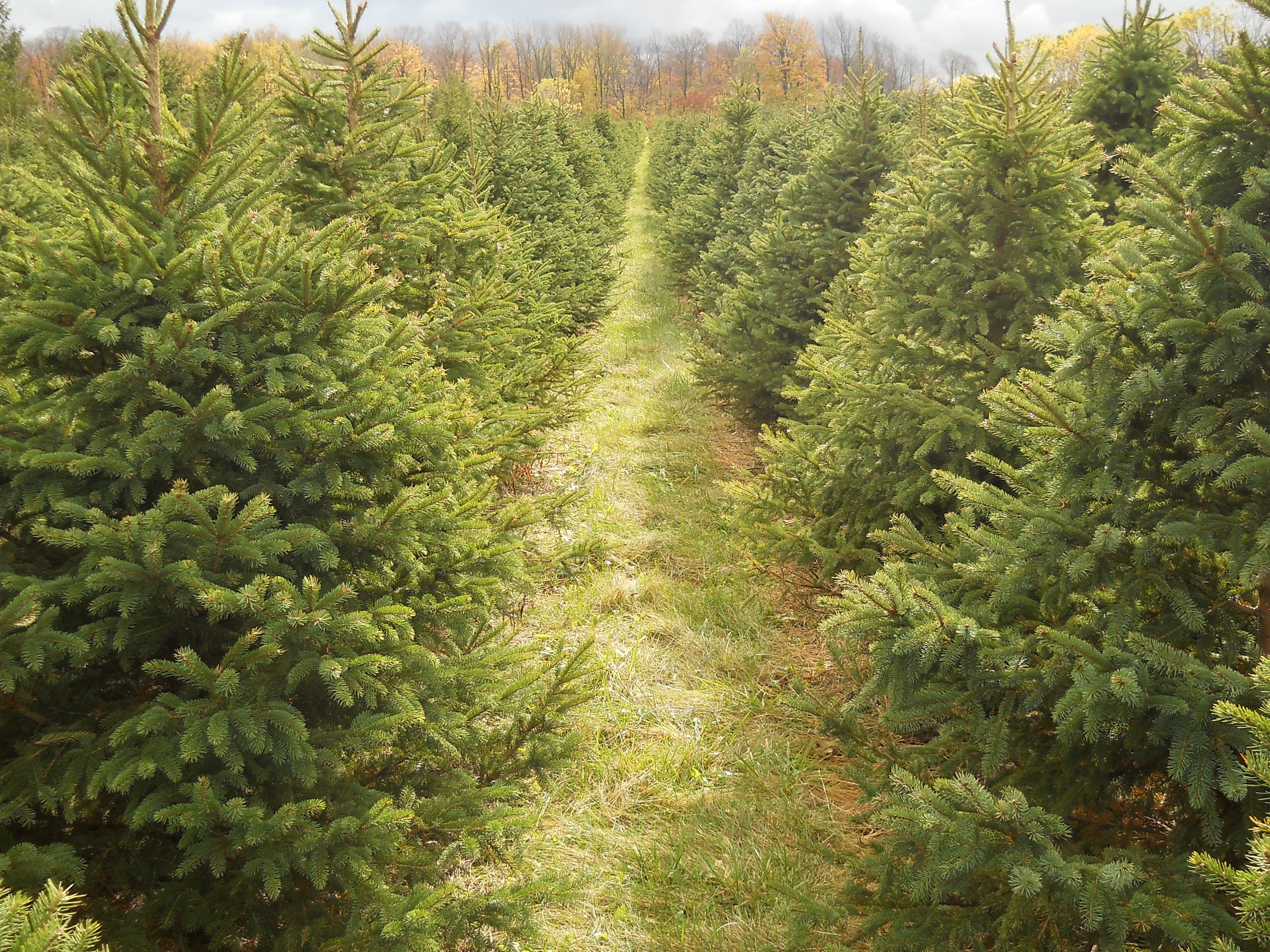 This Field Of Trees Is Just Waiting For The Christmas Season Tree Farms Tree Christmas Seasons