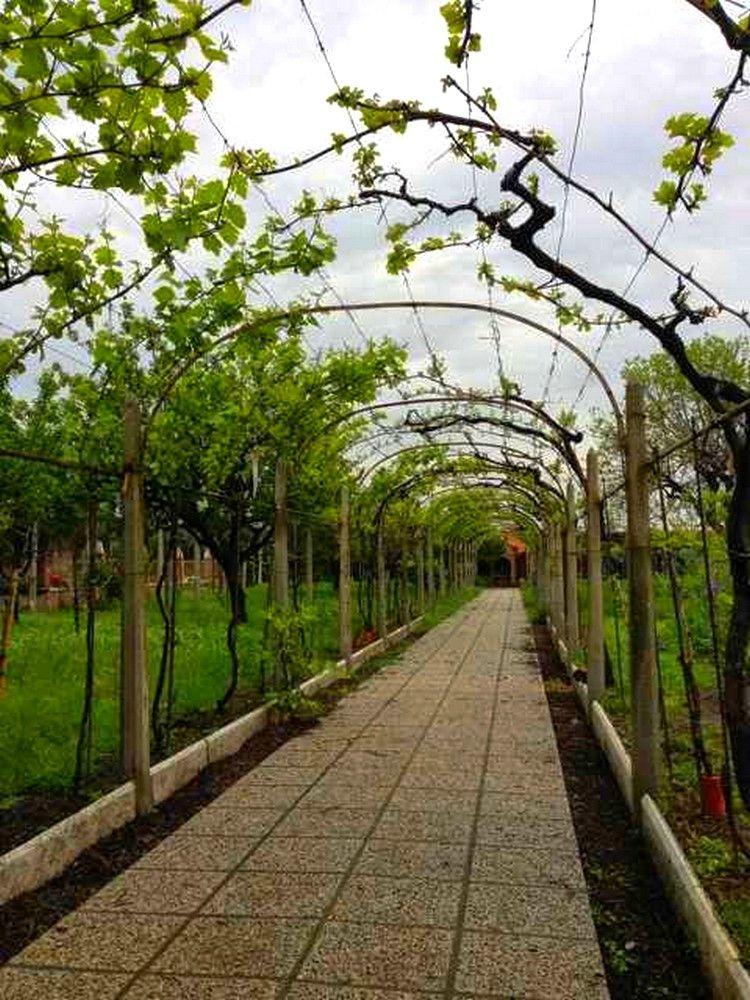 Palissage vignes en tonnelle Palissage pour arbre