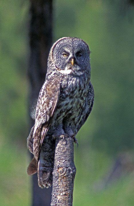 Great Grey Owl (Strix nebulosa) - Picture 2 in Strix ...