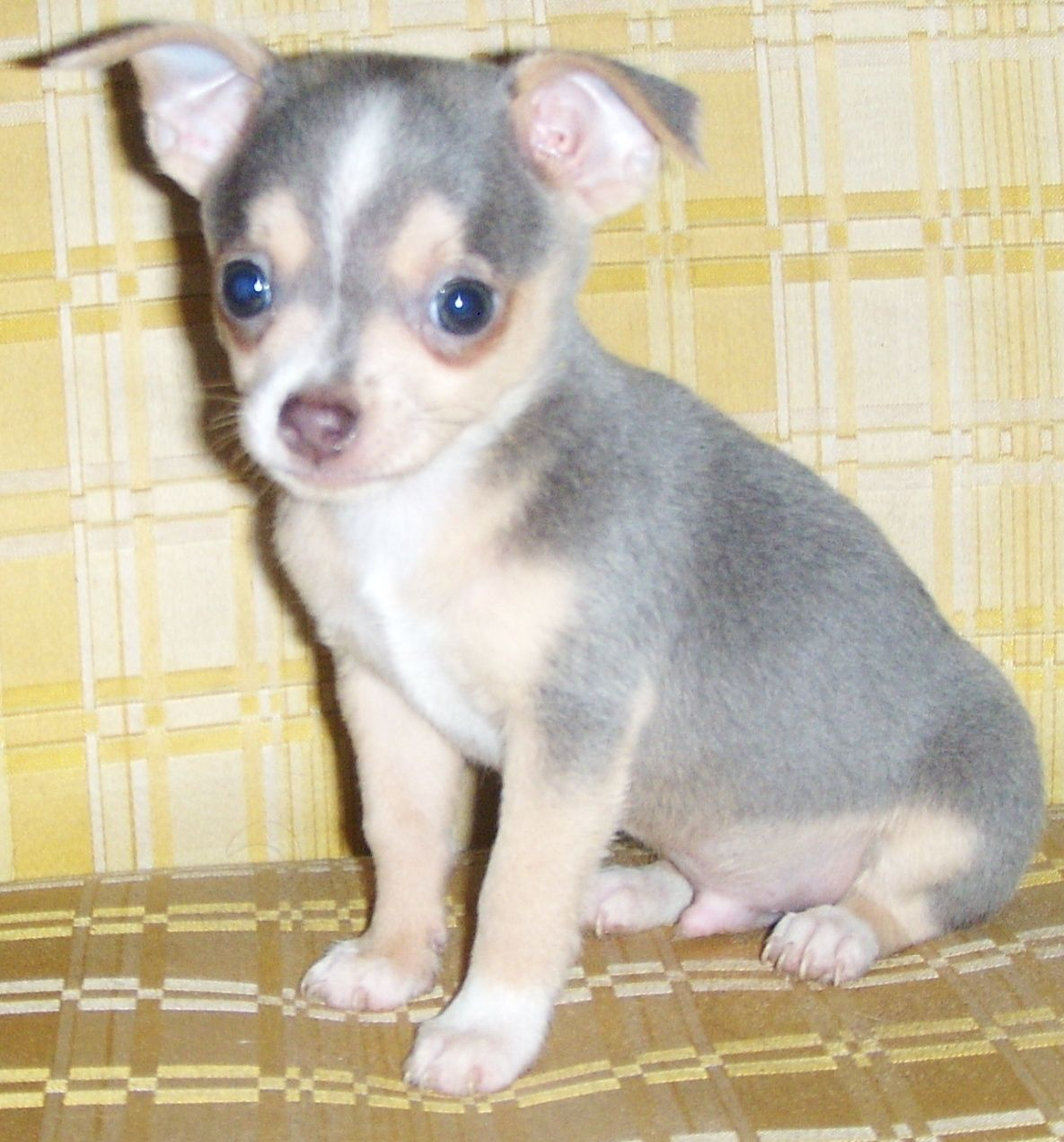 Little Blue Chihuahua Male Looks Just Like My Ranger When We