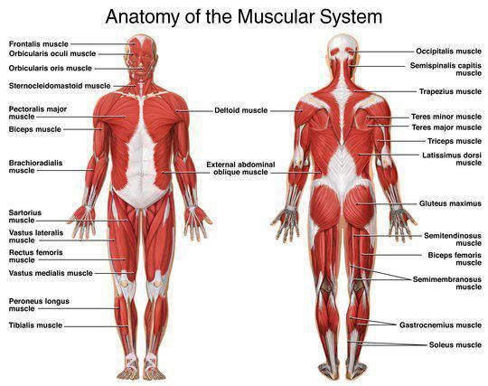 description of the muscular system – citybeauty, Muscles