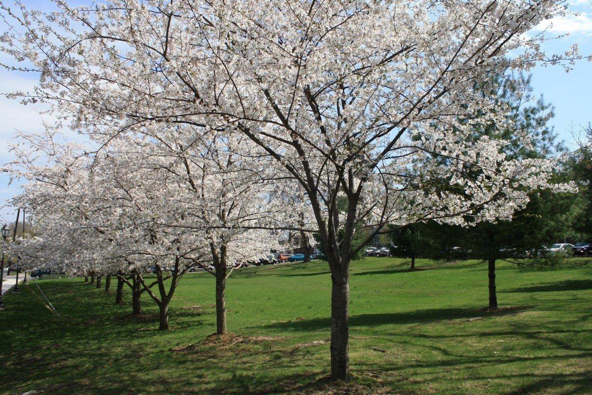 The Yoshino Cherry Blossom Tree Takes Center Stage Trees For Front Yard Blossom Trees Cherry Blossom Tree