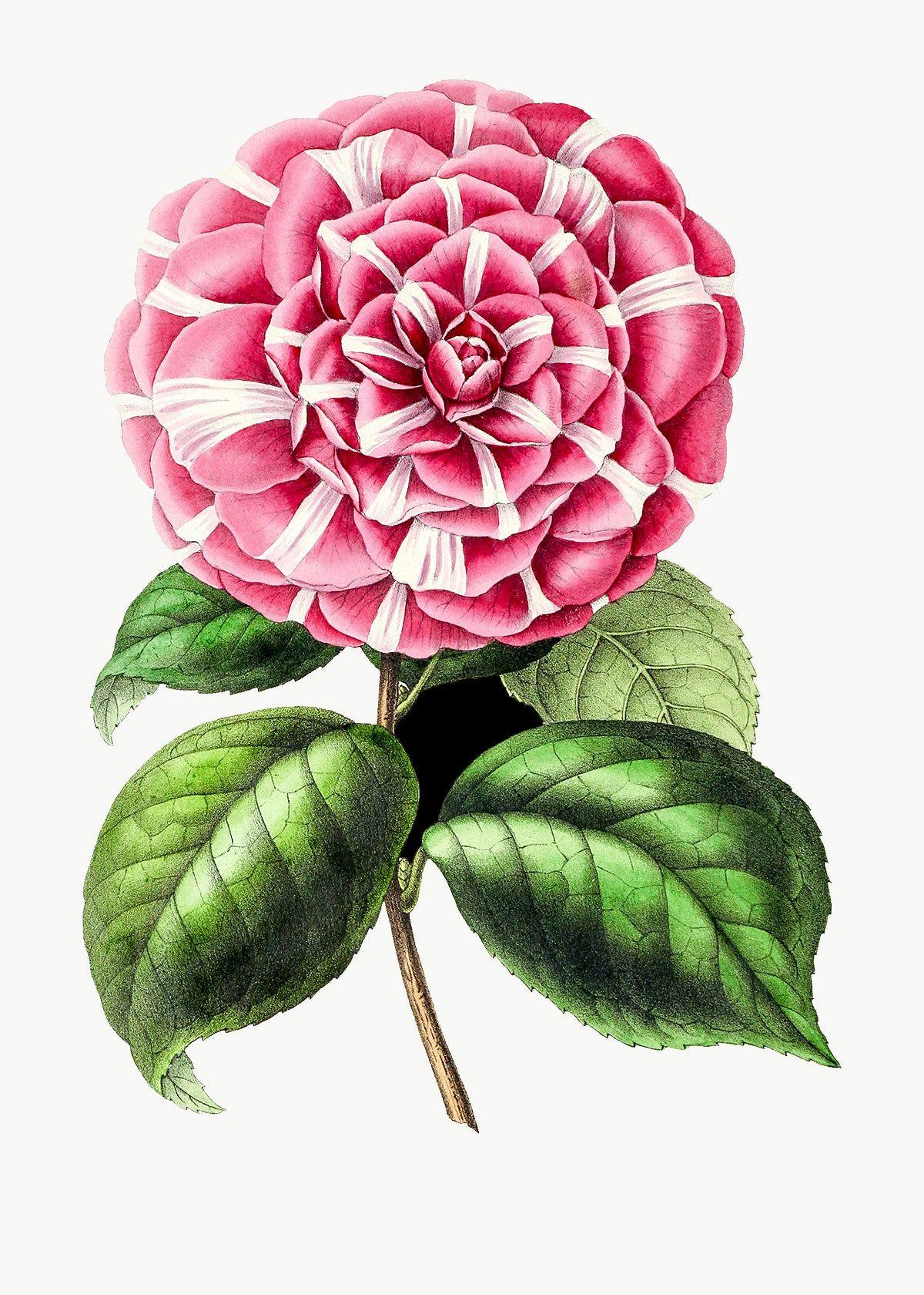 Vintage Pink Camellia Flower Design Element Free Image By Rawpixel Com In 2020 Camellia Flower Design Element Flower Illustration