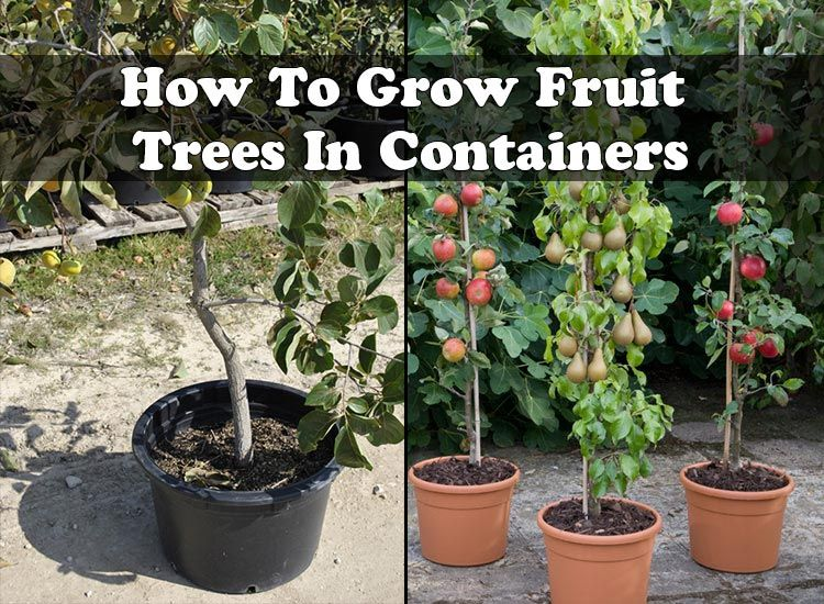 How To Grow Fruit Trees In Containers Fruit Trees In Containers Growing Fruit Fruit Trees