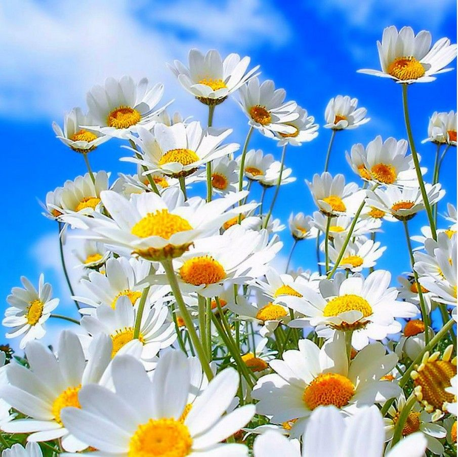 Floral Beauty Daisies Are My Favorite Flower Daisies And