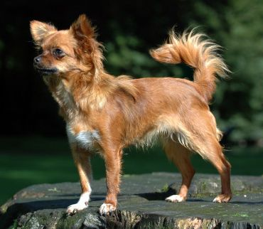 A Purebred Chihuahua Showing The Classic Features Of The Breed