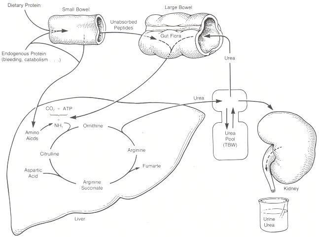 Normal Serum Creatinine Bun Creatinine Urea Nitrogen