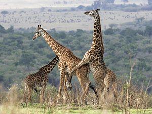 Un estudio ha puesto en duda que el sexo aumente la biodiversidad... como estas dos lindas jirafas en plena copulación