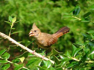 Baby Cardinal Bird With Images Birds Cardinal Birds Baby