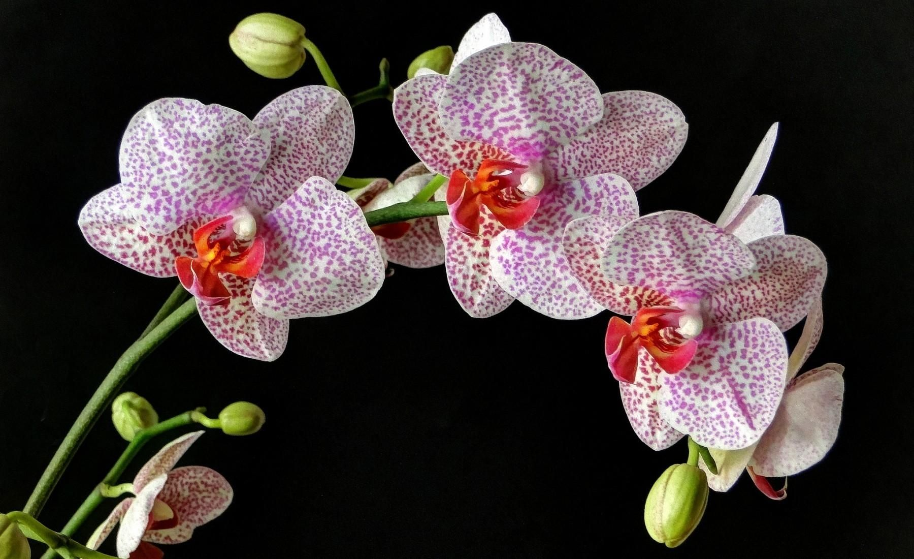 Hd Gorgeous Spotted Orchids Wallpaper Download Free 63103 Orchid Wallpaper Orchids Orchid Varieties