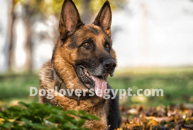 كلب الجيرمن شيبرد الاسود الصدأ