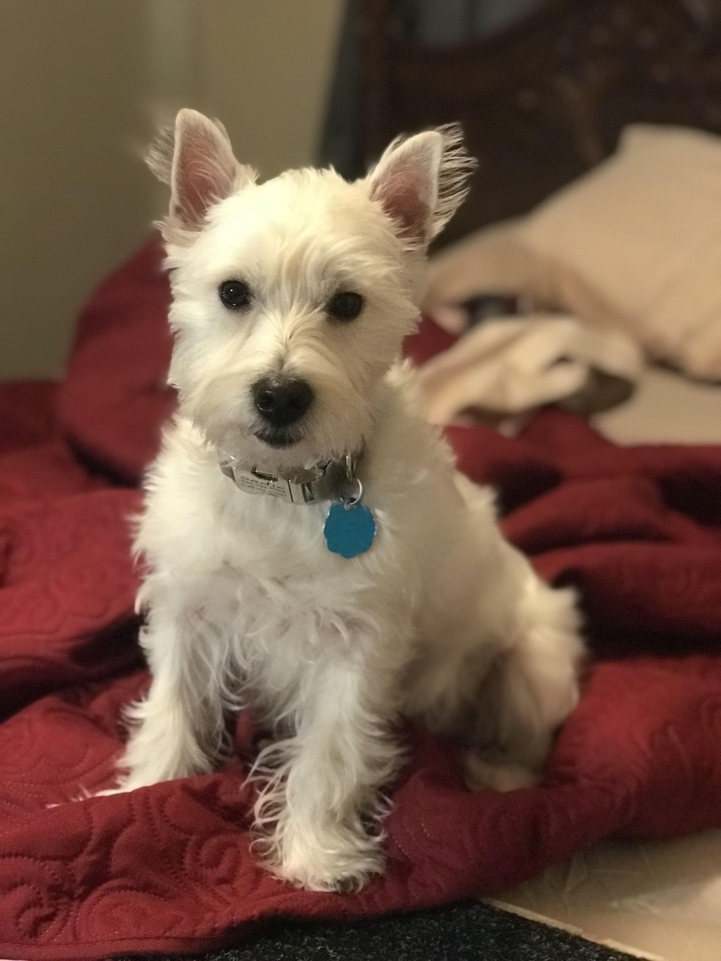 My Sweet Sadie Westies Dogs White Terrier