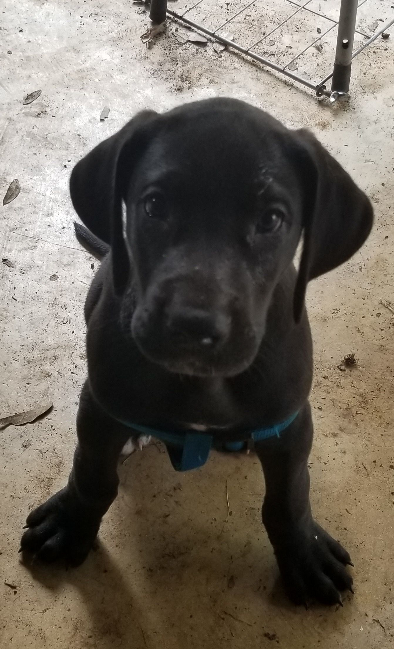 L B Male Great Dane Puppy For Sale In San Antonio Texas