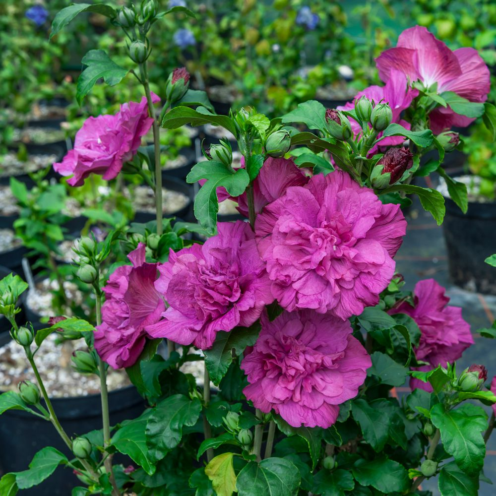 Hibiscus Syriacus Magenta Chiffon In 2020 Hibiscus Tree Growing Hibiscus White Flower Farm