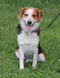 Adopt Addison On Puppy Adoption Beagle Dog Adoptable Beagle