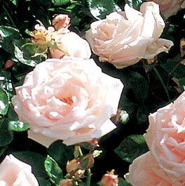 Pin Von Susa Vor Auf Rosen Rosen Pflanzen Rosenpflanzen