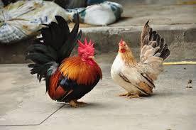 ผลการค นหาร ปภาพสำหร บ ไก แจ ส ทอง หาง ด า Nature Animals Animals Rooster