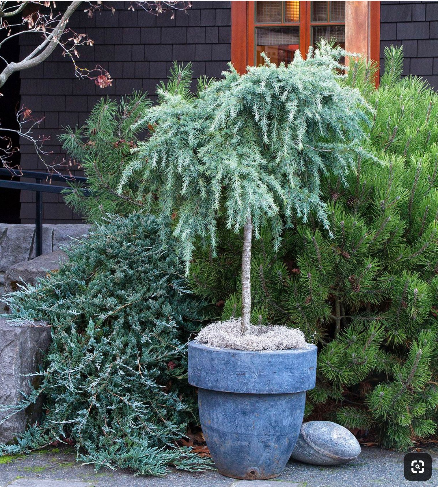Dwarf Shrubs Trees And Potted Patio Winter Plants