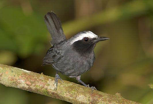 Myrmoborus leucophrys - czarnoliczek białobrewy - White-browed Antbird