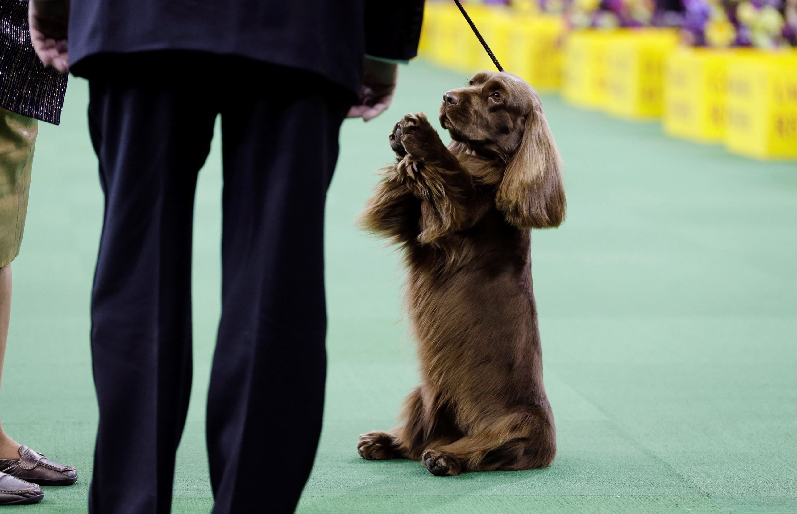 Pictures From Westminister Dog Show