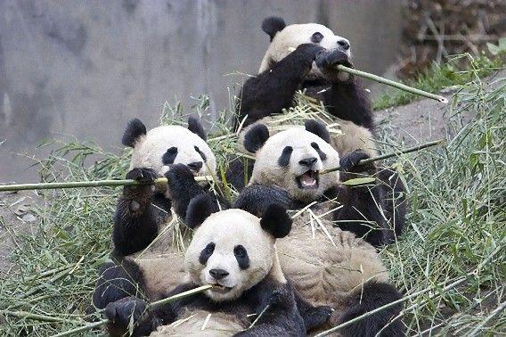 肉食動物の腸を持つパンダがなぜ竹の葉のみを食べるにようなったのか その謎が解明される カラパイア パンダ かわいい パンダ 面白いクマ