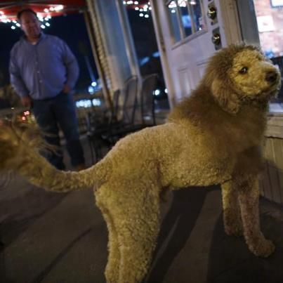Labradoodle Lion Charles The Monarch Love The Haircut Lion