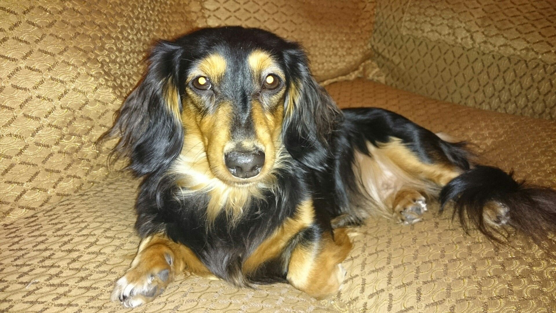 Long Haired Dachshund Black And Cream Long Haired Dachshund
