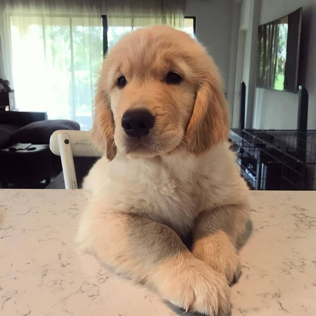 Follow Golden Retrievers Ntk To Be Featured Tag Your Love Via