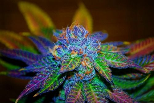 rainbow kush - Google Search | Projects to Try | Weed ...