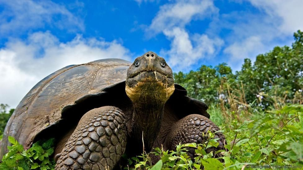 A Galápagos giant tortoise (Credit Bluegreen Pictures