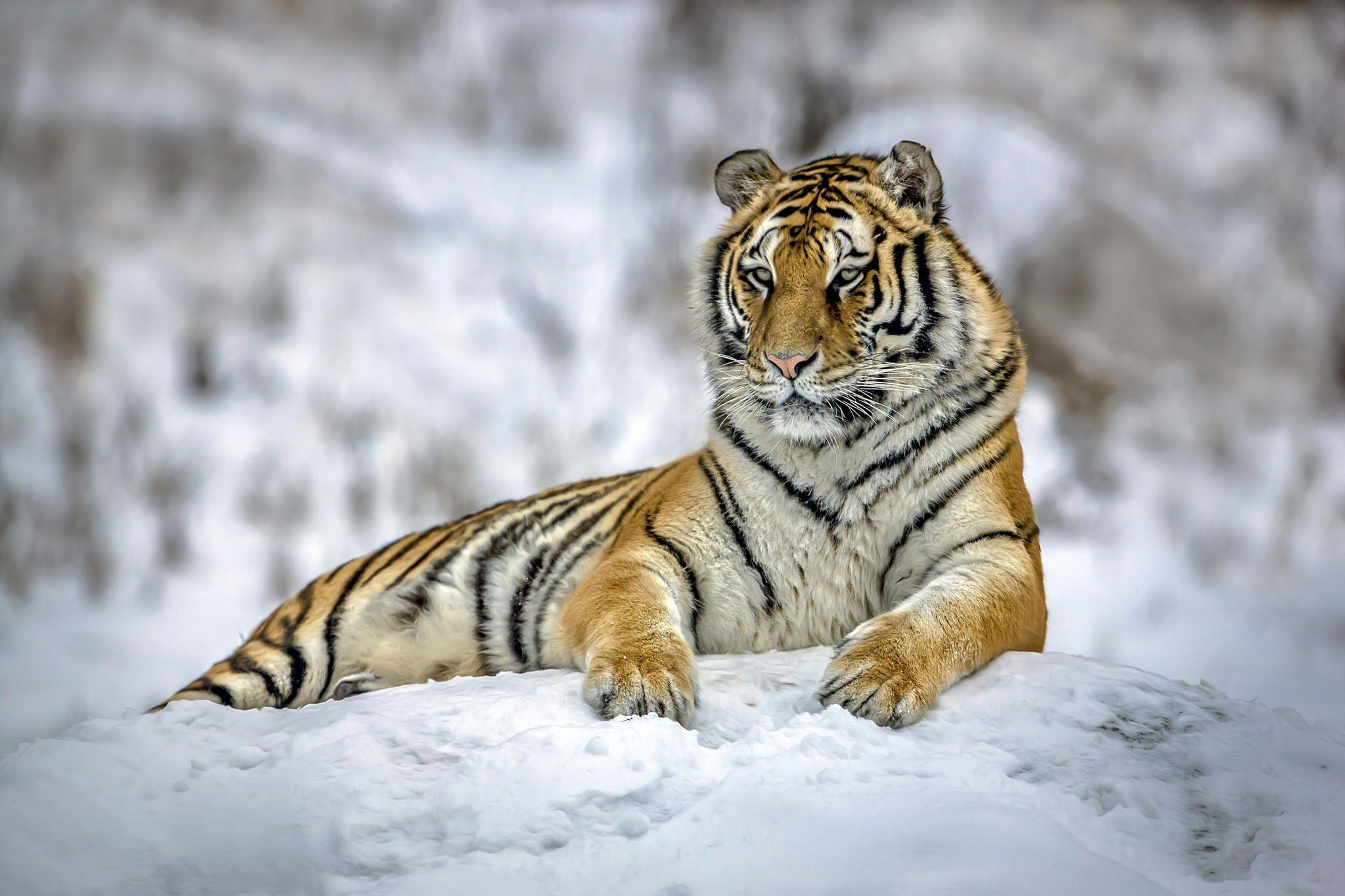 Siberian Snow Tiger.... by Paul Keates    on 500px